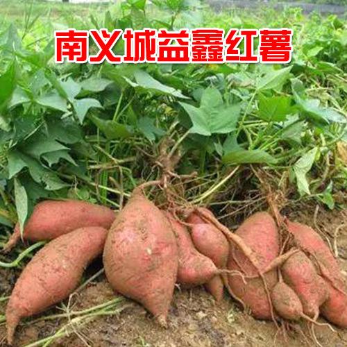 供应 本地优质红薯  10公斤装  欢迎选购