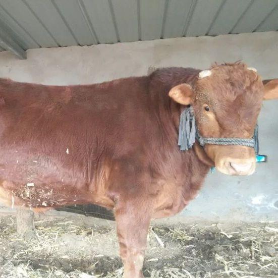 伊金霍洛旗兴旺种养殖场优质牛肉