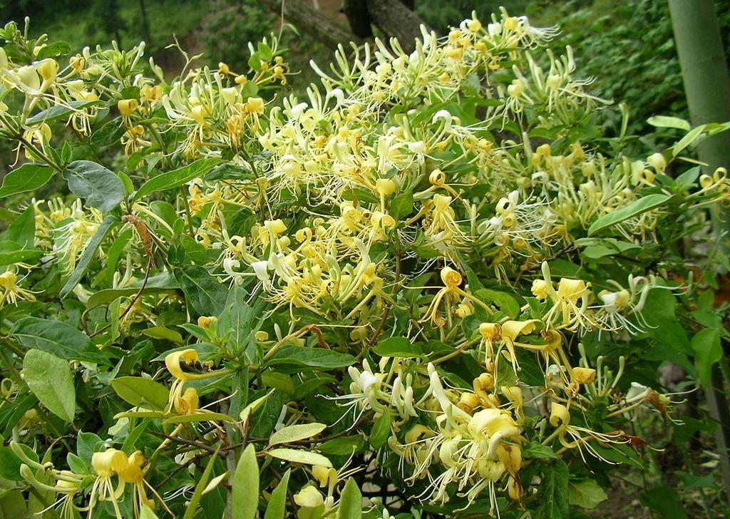 金银花种植基地