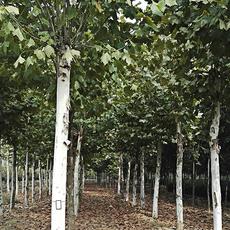 瞳景诚信苗木基地直销2-30CM法桐等园林绿化苗木 法桐树苗 庭院植物