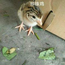 珍珠鸡苗 五黑鸡苗 三黄鸡苗 海兰灰蛋鸡苗