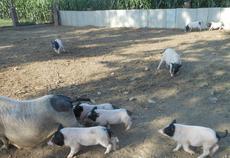 山东香猪养殖合作社大量供应优质巴马小香猪2--4月龄猪苗