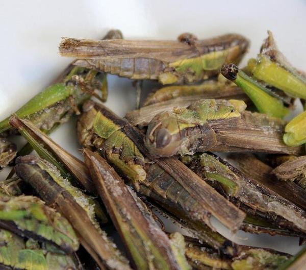 厂家直销 昆虫 螳螂 农作昆虫 价格面议 欢迎选购