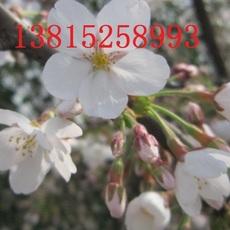 苏州私家庭院景观  苏州别墅庭院景观绿化工程 景观树造型树市场 日本樱花树