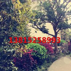 苏州别墅绿化工程 苏州花木市场 苏州苗圃 梅花树梅桩 景观绿化工程