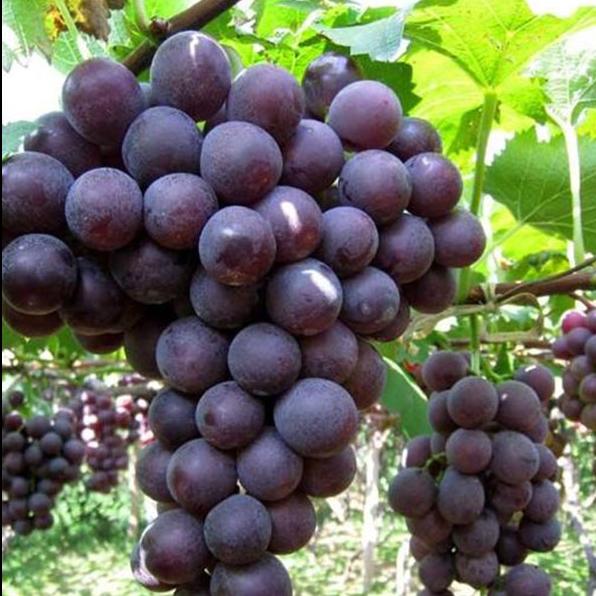 葡萄水果现摘现发净重6斤 无籽很甜