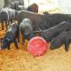 供应 纯种菜 生态黑猪
