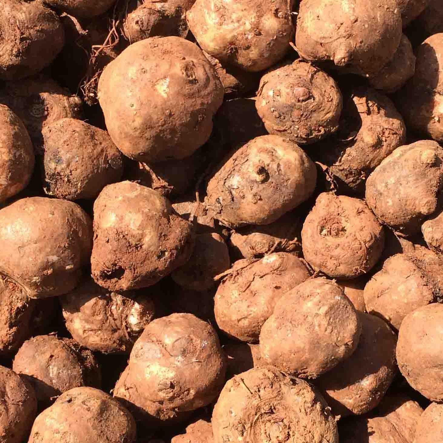 常年供应优质魔芋种子