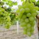 供应 贵妃葡萄纯绿色 天然无农药 限时优惠