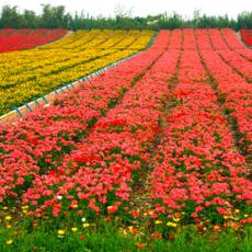 多年生宿根草花野花组合花种子批发 四季种花卉买种子