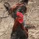 贵州农二哥正宗山林放养土鸡