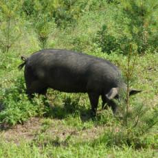 供应 肉质鲜美有机玉山黑猪