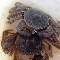 现货大闸蟹公母蟹 2.5母3.5公 鲜活巢湖螃蟹