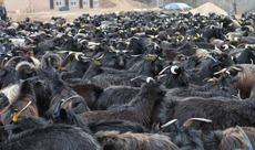 陕西五丰黑山羊甘泉养殖基地2