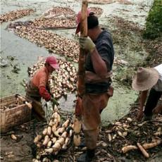 产地直供 新鲜优质 无公害 莲藕莲菜 纯天然 无污染 健康美味 一千斤以上