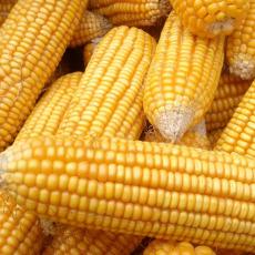 供应 翟利林农村玉米 质优价廉  量大从优