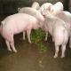 供应养殖宿州生猪