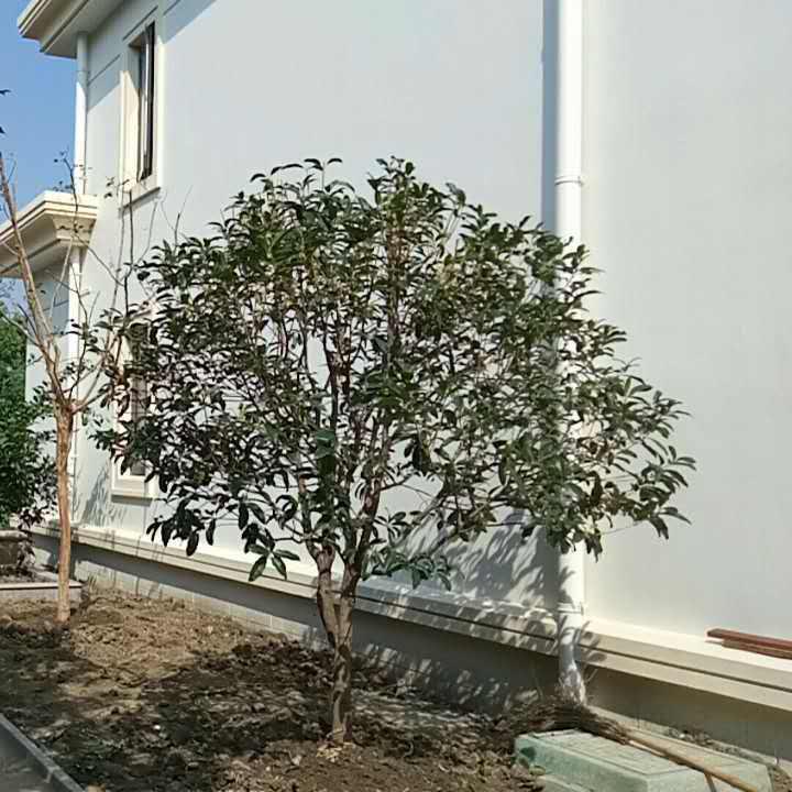 苏州造型龙柏树 庭院景观绿化设计施工 苗木古桩树桩 花木批发基地 别墅庭院绿化工程