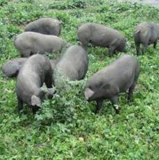 供应瘦肉型黑猪