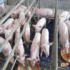 生猪养殖批发销售