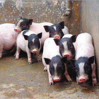宠物香猪养殖 宠物巴马香猪