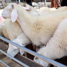 常年供应纯种小尾寒羊母羊 羊羔 圈养小尾寒羊