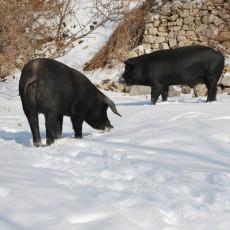 供应 原生态特级黑猪