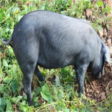 供应 野生特级黑猪