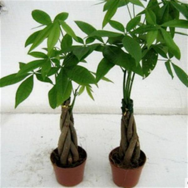 供应批发小盆栽绿植 小发财树 辫子发财树 室内发财树 客厅最佳选择