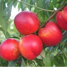 供应新鲜水果桃子仙居特产高山水蜜桃基地大甜绿色水果有机蟠桃采摘