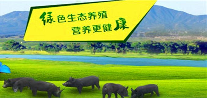 生态黑猪代理