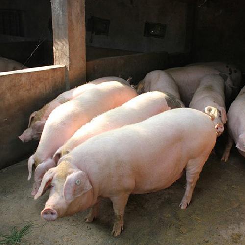 生猪肉猪量大从优