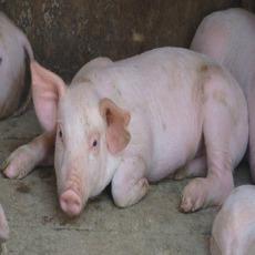 生猪肉猪 大量供应
