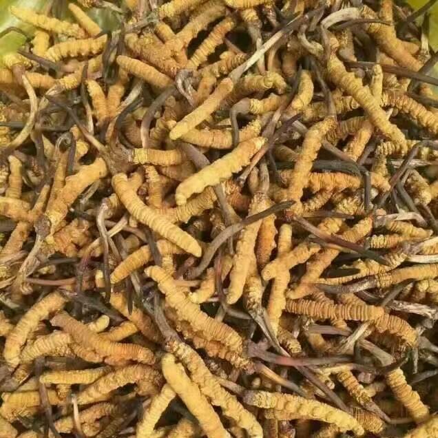 昆明回收冬虫夏草 昆明回收冬虫夏草价格