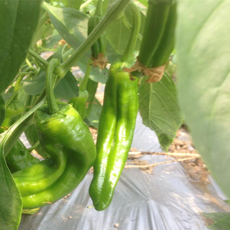 辣椒批发 产地环境安全 蔬菜质量有保障