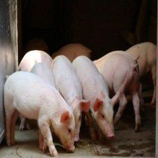 祥华养殖专业合作社 生猪