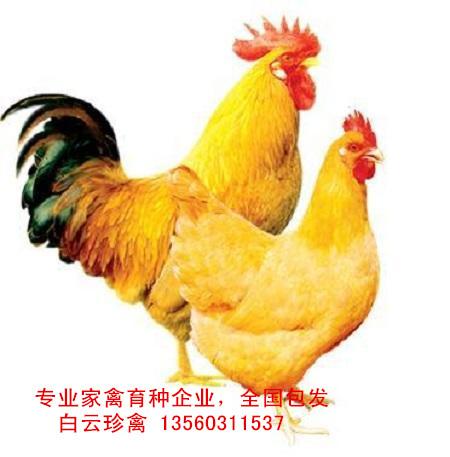 快大三黄鸡苗厂家批发,全国包发快大三黄鸡苗价格实惠