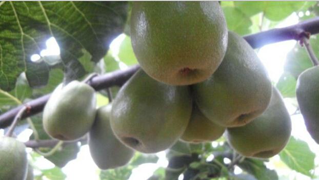 生态红心猕猴桃 无激素 更健康 甜如蜜