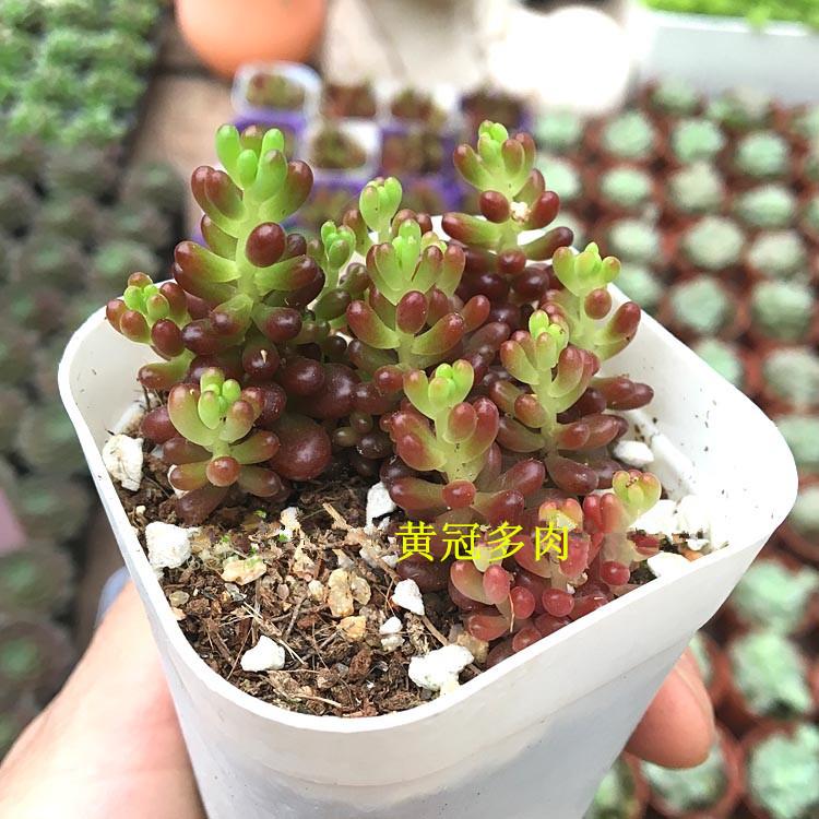 多肉植物 肉肉 批发 红色浆果 6.5CM满盆迷你盆栽 花卉植物  含盆