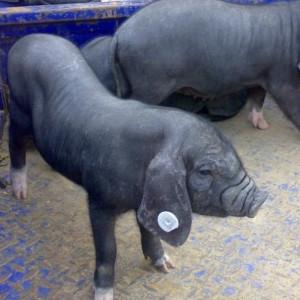 供应 南亩黑猪肉 后腿精肉 活猪屠宰