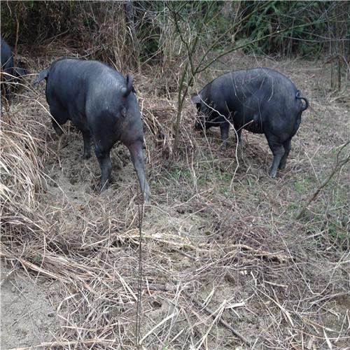 供应 嘎里香农家散养生态新鲜黑猪肉