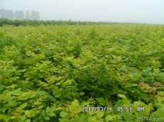 诚信苗圃场大量供应金叶白蜡嫁接苗金叶白蜡苗预定中