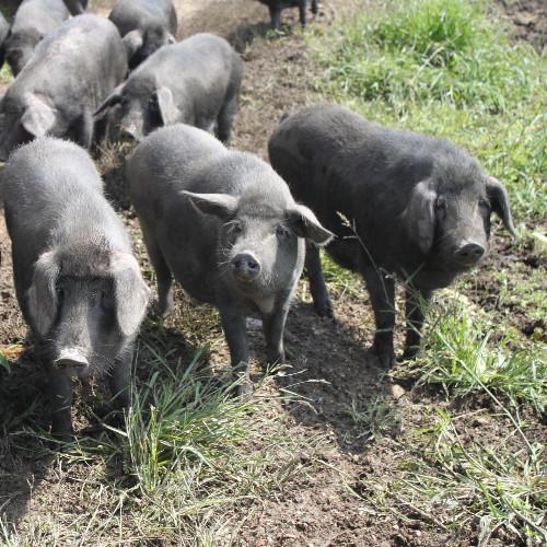 供应 前农鲜 大别山南正宗农村生黑猪肉