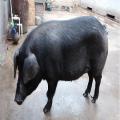 低价出售粮食喂养的生态黑猪