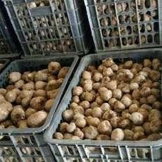 魔芋二代种   免费技术指导  魔芋种子