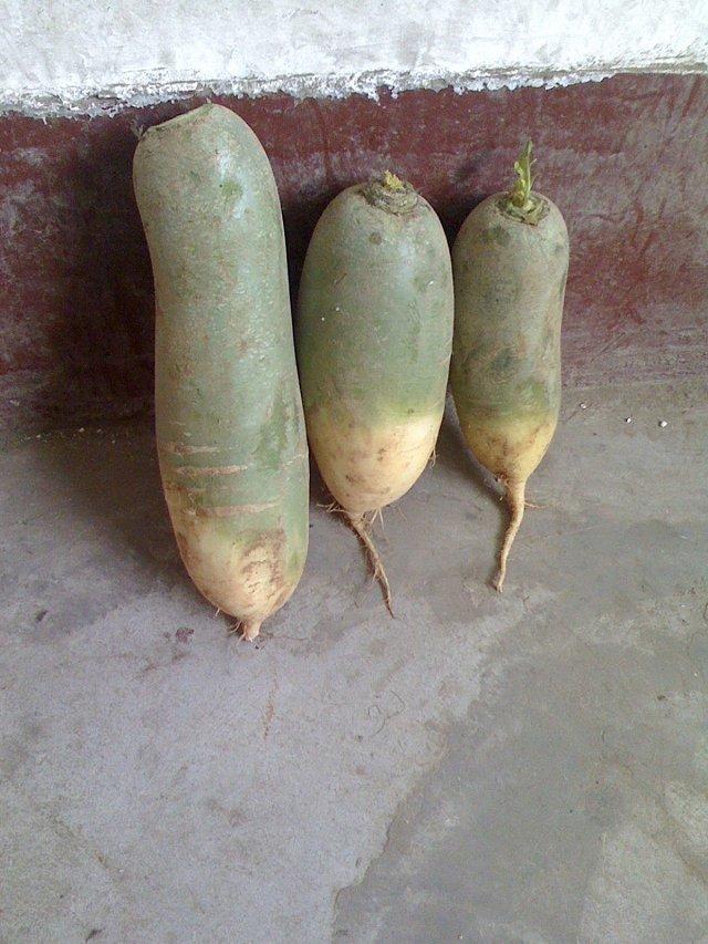 供应:山东肥城里外青萝卜,水果萝卜大量供应中