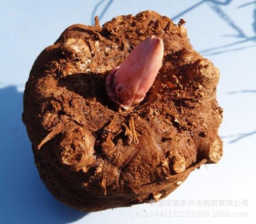 陕西汉中魔芋种子多少钱一吨 优质一代二代魔芋种子多少钱一吨