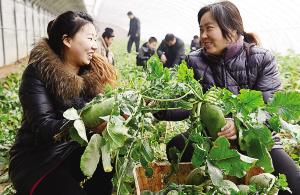 贵州毕节本地白萝卜迎来大丰收