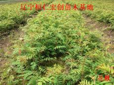 供应花楸苗、花楸小苗、辽宁花楸、花楸基地、花楸种子