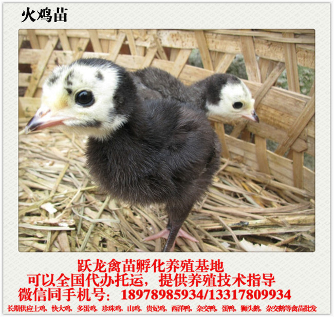 广东火鸡苗养殖场 质量好的南宁火鸡苗跃龙禽苗孵化供应